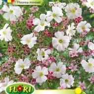 Floarea Miresei - Seminte Flori Planta Anuala de la Florian