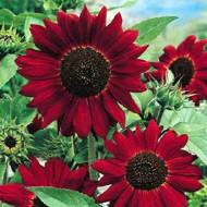 Floarea soarelui rosie Evening Sun (1,5 g), seminte de plante anuale cu flori rosii, Agrosem