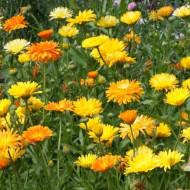 Galbenele Medicinale mix (2 g), seminte de galbenele colorate in nuante de galben si portocaliu, medicinale si decorative, Opal