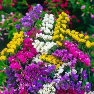 Garoafa mării (0,2 g), plante perene frumos colorate, plante cu flori nemuritoare, numite si flori de pai, Horti Tops