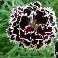Garoafa Negru cu Alb - Seminte Flori Garoafa Neagra cu Alb de la Florian