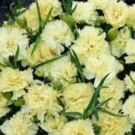 Garoafe Chabaud (0.2 grame) seminte de garoafe galbene, cu flori mari, Agrosem