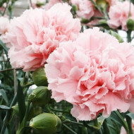 Garoafe Chabaud roz deschis (0.2 grame) seminte de garoafe roz, cu flori mari, Agrosem