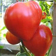 Gigant Inima de Bivol Rosu Bulgaresc (0.2 gr) seminte de rosii ce ajung peste 1 kg, Opal
