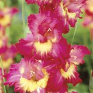 Gladiole Far West (7 bulbi), gladiole cu flori mari colorate in roz vibrant, ce inconjoara un miez galben luminos, bulbi de flori