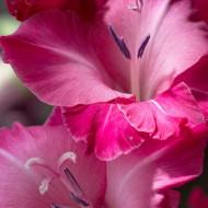 Gladiole Pink (5 bulbi), gladiole cu flori mari, superbe, de un roz adanc, bulbi de flori