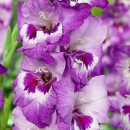 Gladiole Vista (7 bulbi), gladiole cu petale decorate artistic cu violet-lavanda si purpuriu intens, bulbi de flori