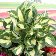 Hosta Colored Hulk (ghiveci 1,5 L), planta decorativa cu frunze culoare verde-lime si verde inchis