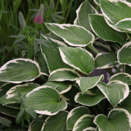 Hosta Francee fortunei (ghiveci 1,5 L), planta decorativa cu frunze verde-olive marginite cu alb