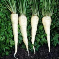 Jadran - 500 grame - Seminte de patrunjel de radacina cu perioada de vegetatie de 193 zile de la semanat ce prezinta rezistenta la mucegai si se preteaza foarte bine la depozitare pe termen lung de la Semo Cehia