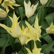 Johan Cruijff (8 bulbi), lalele galbene petale ascutite, bulbi de flori