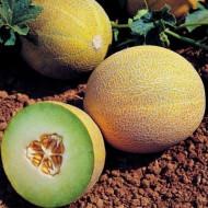 Lavigal F1 (100 seminte) seminte de pepene galben tip Galia, Hazera