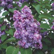 Liliac Michel Buchner, arbust ornamental cu inflorescente bogate, cu flori foarte parfumate, de culoare mov deschis, 1 arbust de 1,5-2 m inaltime, Yurta