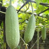 Luffa Cylindrica (1 g), seminte de lufa, planta ornamentala si burete de baie din familia castravetelui, Agrosem