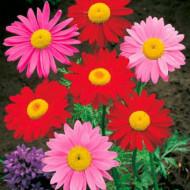 Margarete mix (0.2 grame) seminte de flori, Agrosem