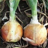 Meranto F1-250.000sem.- seminte de ceapa de tip spaniol cu bulbi mari, productie excelenta, stocare 6 luni de la Hazera