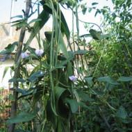 Metro a seme (25 kg) seminte de fasole urcatoare verde la metru, Agrosem