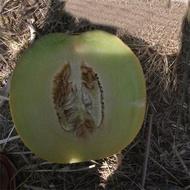 Milica F1 - 100 sem - Seminte de pepene galben cu miez gustos si zemos de la ZKI