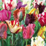 Parrot Mixed (8 bulbi), lalele colorate si franjurate, bulbi de flori