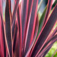 Phormium Sundowner (ghiveci 3 l), planta decorativa frunze ascutite, culoare verde-oliv cu margini roz