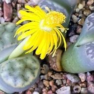 Pietricele Vii - 10 sem - Seminte flori Pietre Vii (Pietricele Vii) planta exotica de la Florian