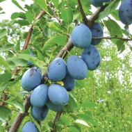 Puiet de prun Stanley, pom fructifer prun soi autofertil, fructe mari, Yurta