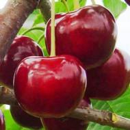 Puiet de Visin Productiva de Erd, pom fructifer visin cu fructe crocante, cu gust dulce-acidulat, Yurta
