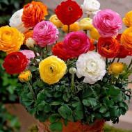 Ranunculus amestec (10 bulbi), mixtura, inflorescenta bogata, bulbi de flori