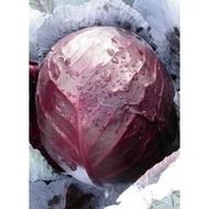 Redsky F1 (70-75 zile) - 1000 sem - Seminte de varza usor aplatizata de culoare rosu stalucitor de la Clause