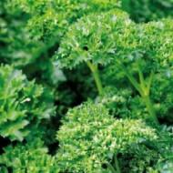 Riccio (5 gr) seminte de patrunjel de frunze, dezvolta tufa compacta, Prima Sementi