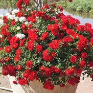 Rosa Mini Red (ghiveci 1,5 l), trandafir pitic cu flori rosii