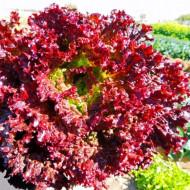 Salata Lollo Rossa (1 kg), seminte de salata creata rosie soi timpuriu, Agrosem