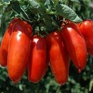 San Marzano Nano - 0.5 gr - Seminte de rosii Soi determinat pentru Camp si Conservare Florian Bulgaria
