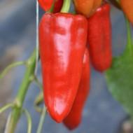 Seminte ardei Apulum F1 (100 seminte), ardei lungi, Hektar Agrosel