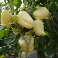 Seminte ardei gras Blancina F1 (500 seminte), tip Blocky, Enza Zaden