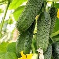 Seminte castraveti Ekol F1 (500 seminte), cornichon partenocarpic, Syngenta