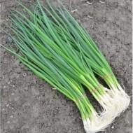 Seminte ceapa Green Banner (100.000 seminte), ceapa verde, Seminis