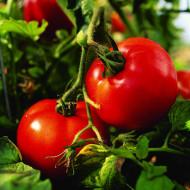 Seminte rosii Buzau 47 (1 g), semitimpuriu, Agrosel