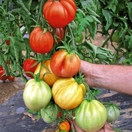 Seminte rosii Liguria (1000 seminte), crestere nedeterminata 250-300 gr/fruct, ISI Sementi