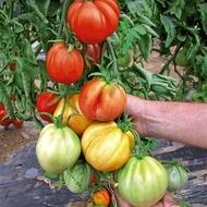 Seminte rosii Liguria (500 seminte), crestere nedeterminata 250-300 gr/fruct, ISI Sementi