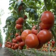 Seminte rosii Matias F1 (500 seminte), nedeterminate, De Ruiter Seeds
