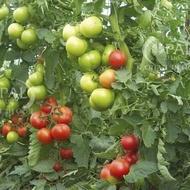 Seminte rosii Opal BG F1 (5 gr), Seminte de tomate cu crestere nedeterminata semitimpurii Gust excelent