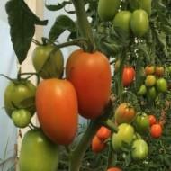 Seminte rosii ovale AX 70-827 F1 (500 seminte), nedeterminate, agroTIP
