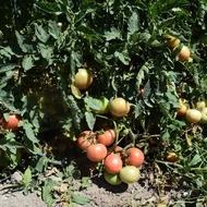Seminte tomate Ideal Roz (0.3 gr), Rozov Ideal, soi nedeterminate semitimpurii, Opal