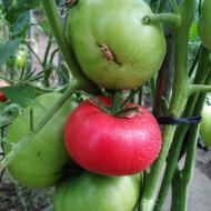 Siberian Trio (50 seminte) rosii de clima rece, soi extra-productiv, culoare purpuriu, nedeterminat, Ukraina