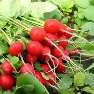 Sora seminte de ridichii extratimpurii (50 gr), toleranta foarte buna la temperaturi scazute, Nunhems