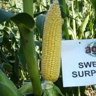 Sweet Surprise F1 - 25.000 sem - Seminte de porumb mediu-tarziu doua fructe pe planta cu forma fructului cilindrica si marimea stiuletilor de 23 cm de la Agrisemen