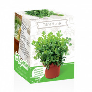Telina frunze - Kit plante aromatice