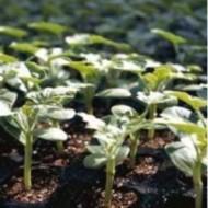 TI-191 F1 - 1000 sem - Seminte de portaltoi tip Lagenaria utilizat pentru pepene verde in special la culturi timpurii si poate fi utilizat pentru o gama larga de hibrizi de pepene verde de la Takii Seeds