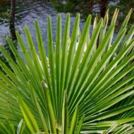 Trachycarpus fortunei / Chamaerops excelsa (ghiveci 2 l), palmier decorativ de gradina rezistent la ger